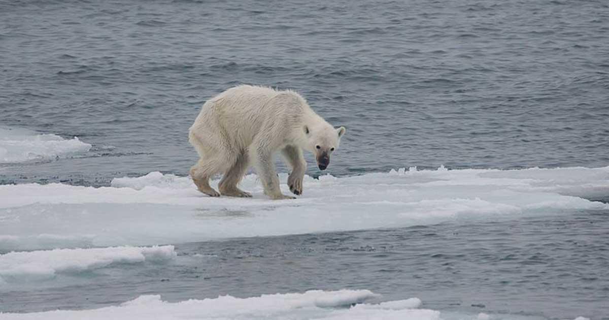 Egy éhező jegesmedve az olvadó jégtáblán. A jégtakaró olvadása életterük csökkenésével jár. / Fotó: wikipedia