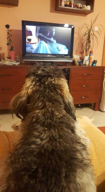 Maya tévézik az érdi állatmentők egyik önkéntesénél. Az ex kóbor kutya