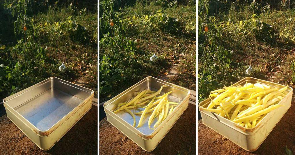 Zöldbab az ősz konyhakerti aranya + egy jó recept