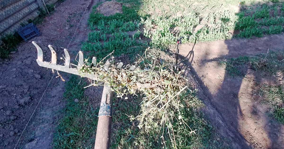 A gereblye a kertben nem csak a talaj egyengetésére jó, hanem a gyengébb gyomok kitépésére is.