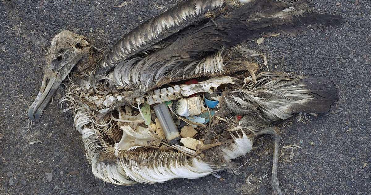 Halott madár teteme 2009-ből Csendes Óceán Midway Atoll szigetéről. / Fotó: wikipedia.