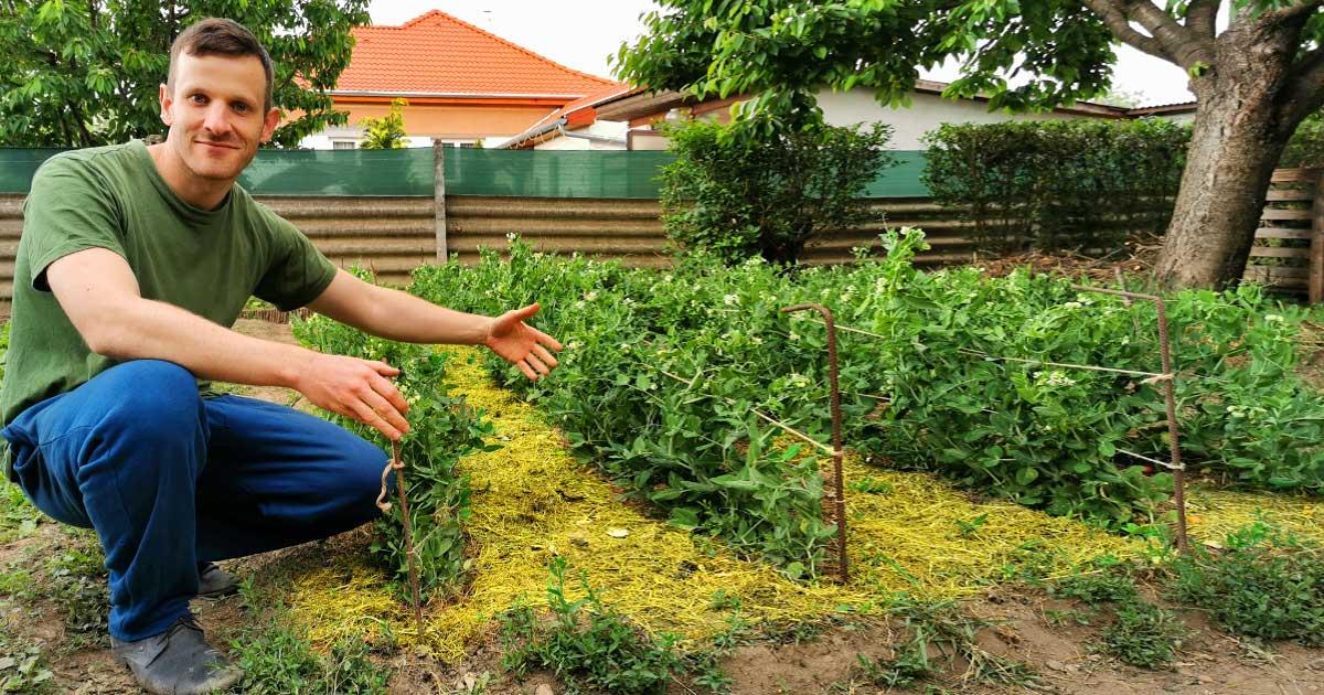 Zöldborsó támaszték építése mulcsolás