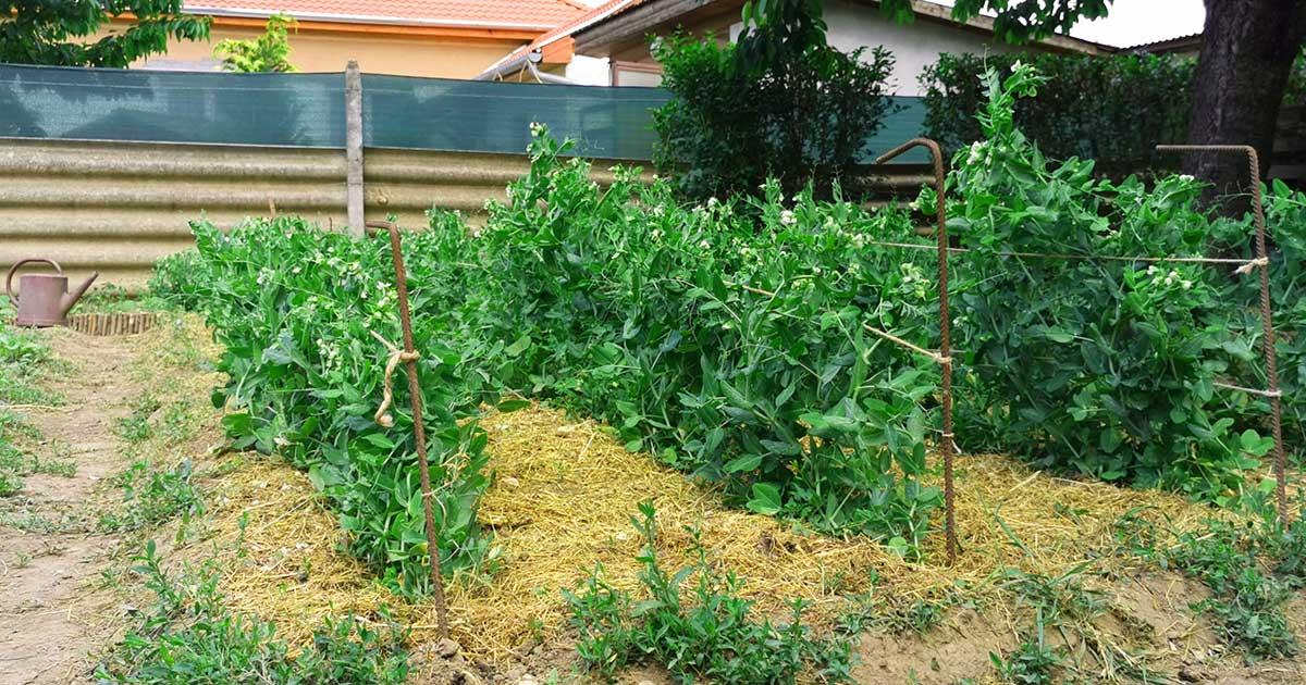 Támaszték segítségével a zöldborsó termésnövelése