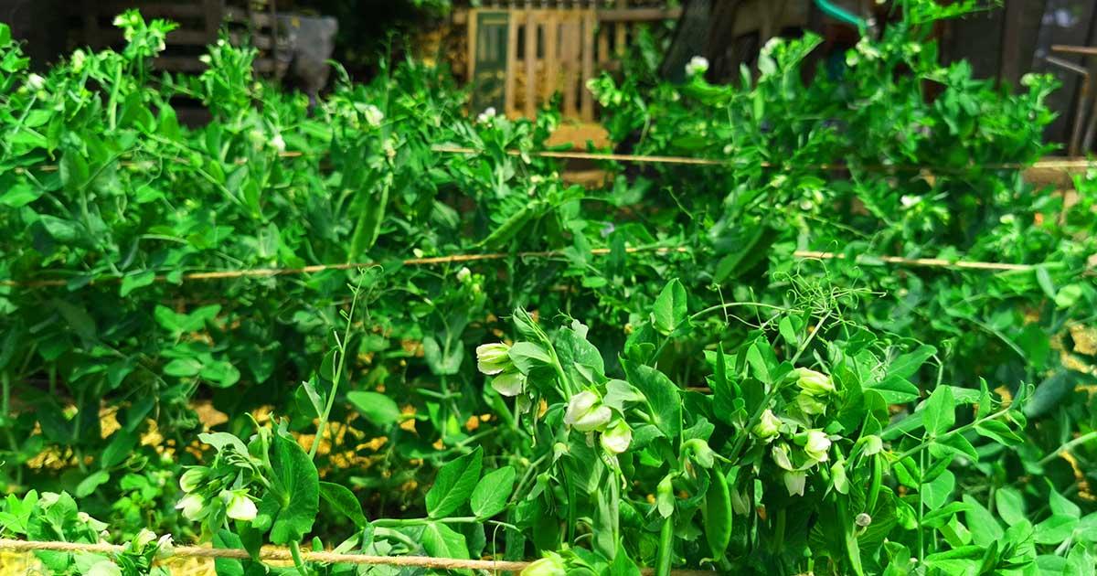 Zöldborsó virág