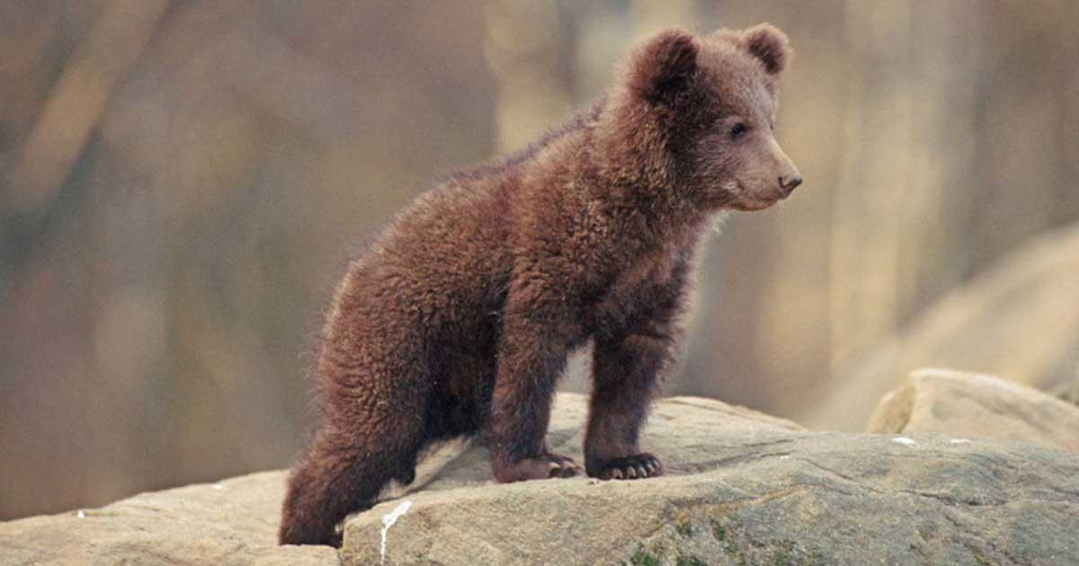 A Kárpátok hegyei a medvék és más vadon élő állatok otthona.
